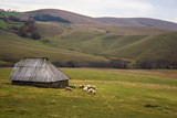 Sheep herd in the mountain pasture in Zlatibor, Serbia. Countryside tourism concept.
