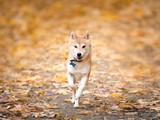 Shiba Inu running in autumn park - 228512512