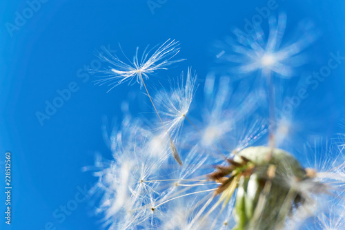 Close-up of a dandelion or taraxacum  flower head with florets and seed heads flying in the wind against a saturated blue sky  - 228512560