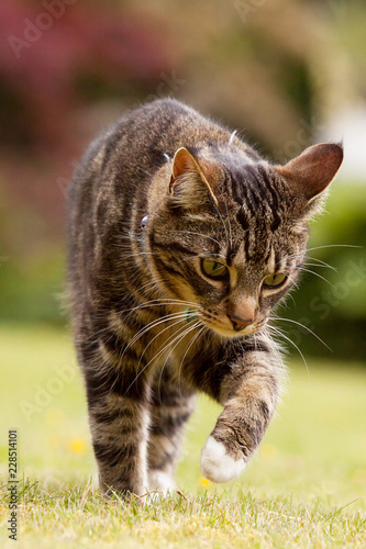 Tabby cat lifting her paw to touch something
