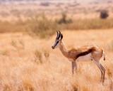springbok in the Namibian savannah