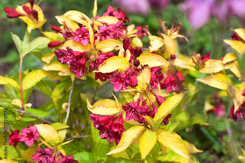 Wall mural Red flowers and golden yellow leaves of the Weigela shrub, Jeans Gold