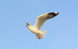 Seagull flying in the sky.