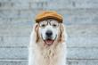 Quadro cute golden retriever dog in cap and eyeglasses looking at camera