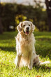 Quadro adorable golden retriever dog with tongue out sitting on grass in park