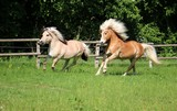 two beautiful horses are running on the paddock - 228546913