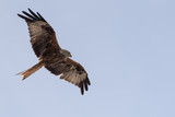 A large red kite soars overhead