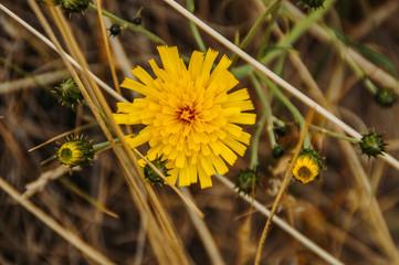 Sommer gelb Blume Löwenzahn