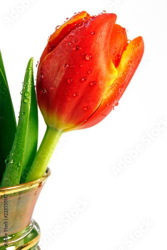 Wet tulip flower over white background