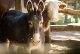 donkey and cow