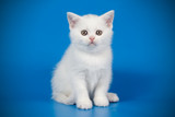 Scottish straight shorthair cat on colored backgrounds - 228566972
