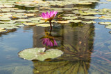Blooming water lily in the pond