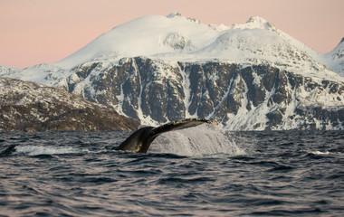 Baleine à bosse Norvège