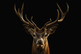 Red deer portrait with black background..
