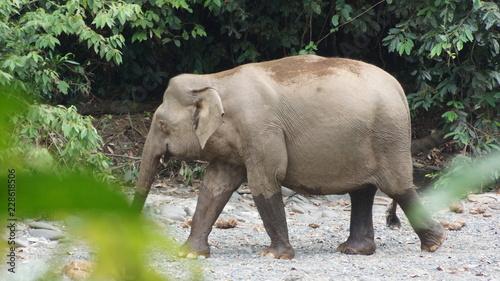Naklejka Borneo Pygmy Elephant seen in Danum Valley, Sabah