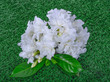 Gerdenia Crape Jasmine or Siamese Boxwood