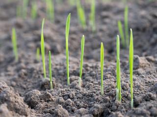 Getreidekeimlinge - Wintergetreide - Aussaat