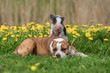 Leinwanddruck Bild - Mini pig and dog on the field with dandelions