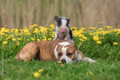 Leinwanddruck Bild Mini pig and dog on the field with dandelions