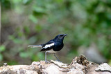 Oriental magpie-robin, they are common birds in urban gardens as well as forests. - 228632719