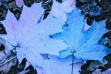 mysterious forest texture bright blue maple leaves fallen from the trees lie on the ground close-up