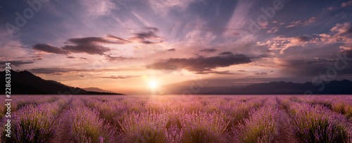 Fototapety, obrazy : panorama field lavender