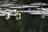 thickets of water lilies on the water