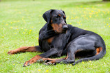 Large black dobermann dog laying outside on lawn, looking over his back at something that has caught his attention - 228651779