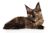 Tortoise color Maine Coon on a white background - 228679509
