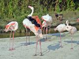 gruppo di fenicotteri rosa