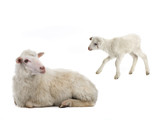 baby and sheep on a white - 228696726