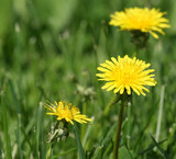 Yellow spring flowers of dandelions close up in bright sunny weather