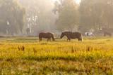 Pferde auf koppel bei Nebel in der Morgensonne