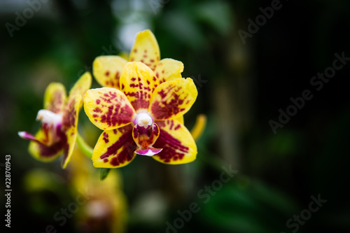 Yellow and Red Hybrid Orchid (Doritaenopsis) in Lembang, Indonesia