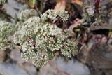 Fiori bianchi di Spirea Rosaceae - 228704340