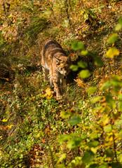 Luchs im Wildpark Grünau