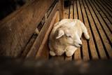 Adoreble Sheep - 228735737