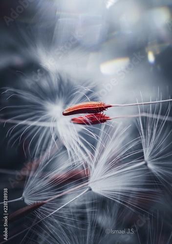 white dandelion in the light - 228738938