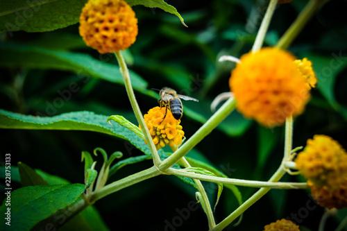 Wall mural Yellow flower bee