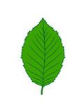 buche blatt baum pflanze form clipart design wald grün blätter strauch busch blüte blume - 228771183