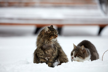Cats in the winter, in the snow