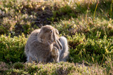 Mountain Hare in Summer Coat Grooming  (Lepus Timidus) - 228821725