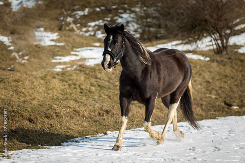 Black and white horse running in the snow