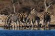 Burchell's zebra herd on a waterhole, etosha nationalpark, namibia