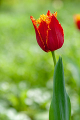 Alone bright red tulip lit by the spring Sun
