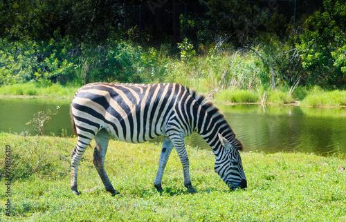 Portrait of a zebra with a natural bushy background.