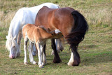 Three horses including feeding foal with its dam swishing her tail