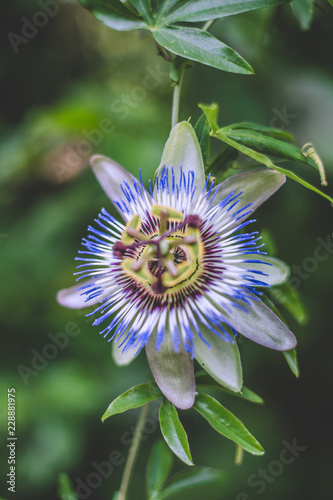 Wall mural blue passion flower
