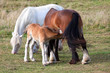 Foal feeding from its dam with another horse, a grey behind them.