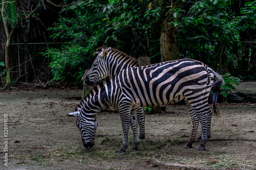 Two zebras against a background of green jungle. A zebra is eating grass on the field. Asia, Singapore